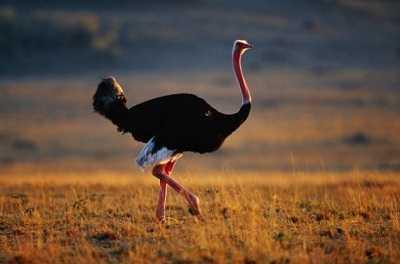 que come el avestruz