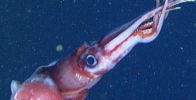 que come el calamar