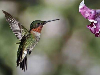 que come el colibri