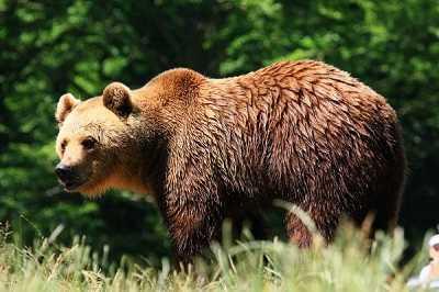 que come el oso pardo