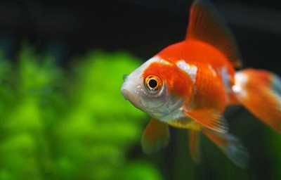 que come el pez dorado