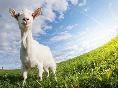 que comen las cabras