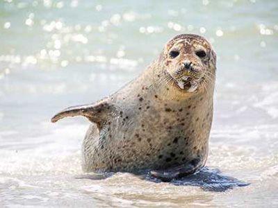 que comen las focas
