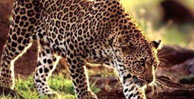 que comen los leopardos