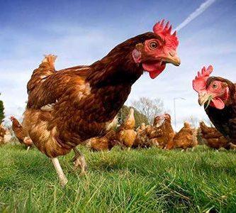 que comen los pollos