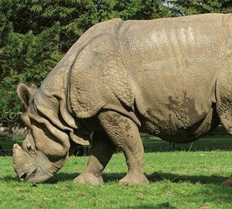 que comen los rinocerontes