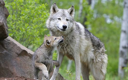 reproduccion del lobo