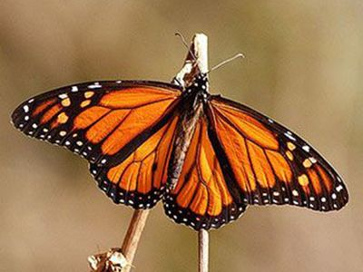 como nacen las mariposas monarcas