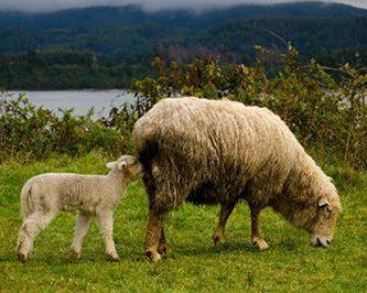 como nacen las ovejas