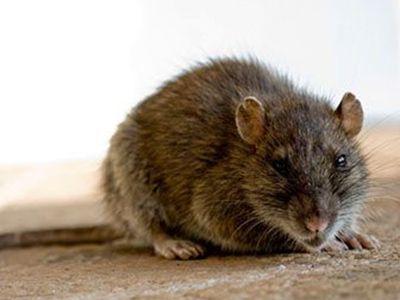 como nacen las ratas