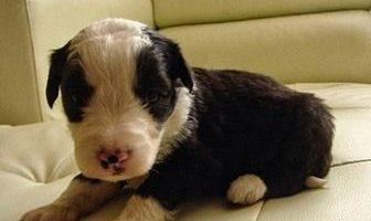 como nacen los bebes de los cachorros
