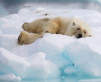 como nacen los osos polares