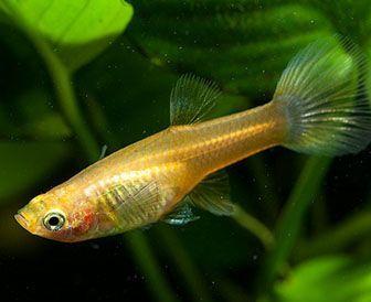 como nacen los peces