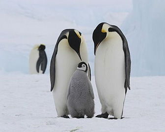 como nacen los pinguinos