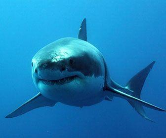 como nacen los tiburones