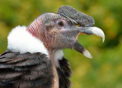 que come el condor