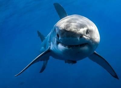 que come el tiburon blanco