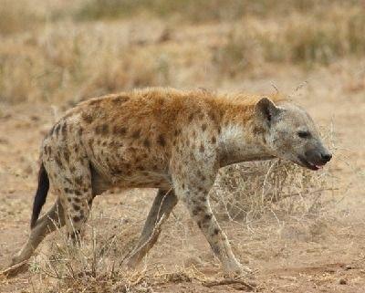que comen las hienas