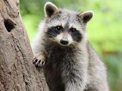 que comen los mapaches