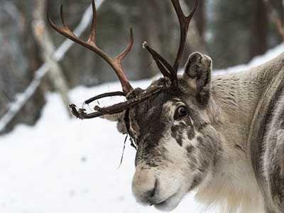 que comen los renos