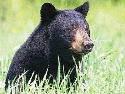 que come el oso negro
