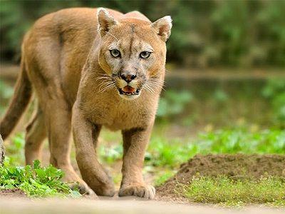 añadir golf vulgar  Que Come el Puma? -【 ¿De que se alimenta? 】