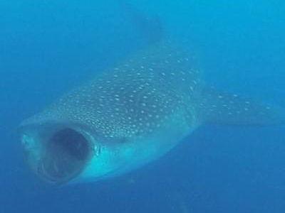 que come el tiburon ballena