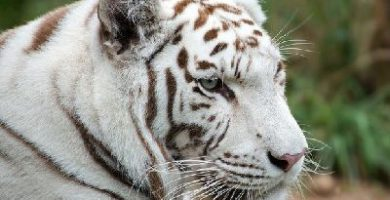 que come el tigre blanco