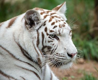 que come el tigre blanco
