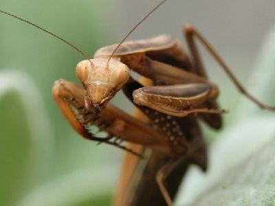que comen las mantis religiosas
