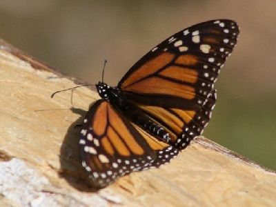 que comen las mariposas monarcas