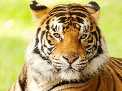 que comen los tigres