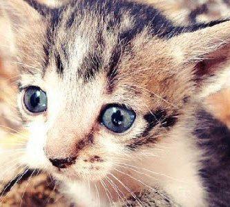 a que edad comen los gatitos