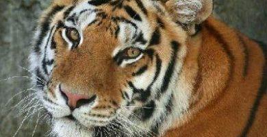 que come el tigre de bengala