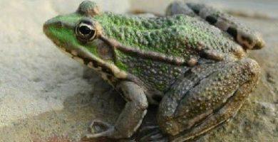 que comen los animales anfibios