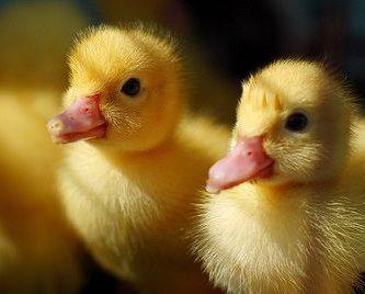 que comen los patos bebes