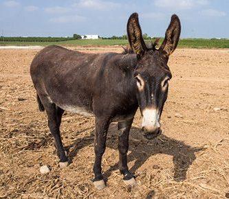 como nacen los burros
