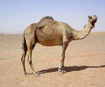 como nacen los camellos