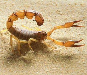 como nacen los escorpiones