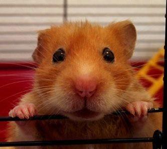 como nacen los hamster
