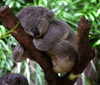 como nacen los koalas