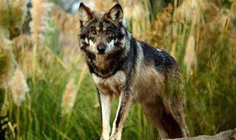 donde vive el lobo mexicano