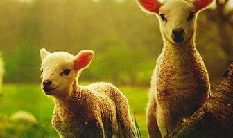 donde viven las ovejas