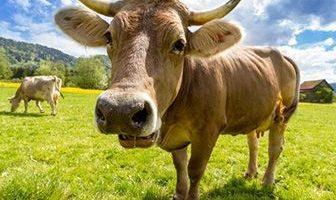 donde viven las vacas