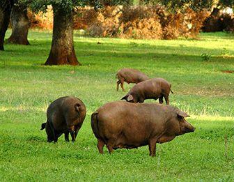 donde viven los cerdos