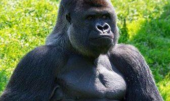 donde viven los gorilas
