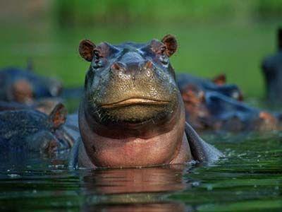 donde viven los hipopotamos