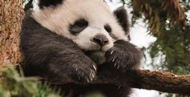 donde viven los pandas