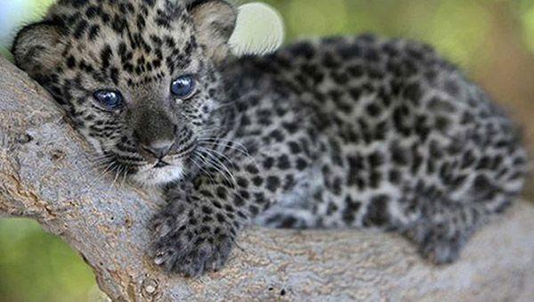 como nacen los leopardos
