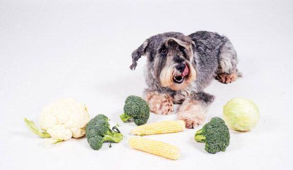 los perros pueden comer brocoli
